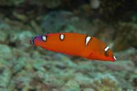 راس دلقک دُم زرد نابالغ (Yellow Tail Clown Wrasse Juvenile)