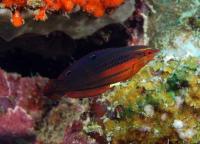 راس خط قرمز بالغ (red-lined wrass adult)