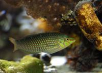 راس کریوتانیا (Chrysotaenia Wrasse Adult)