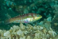 راس باله خالدار بالغ (Spotted-Finned Wrasse Adult)