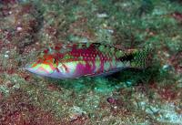 راس تصویری (Picture Wrasse Adult)