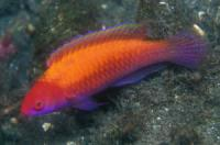 راس لوبوک (LubbockS Fairywrasse)