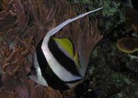 بنر اسلولینگ (Schooling  Bannerfish)