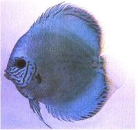 دیسکاس فیروزه ای آبی (  Blue Turquoise Discus)