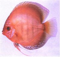 دیسکاس قهو ه ای قرمز ( Red Brown Discus)