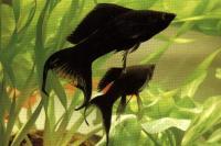 مولی دم چنگی سیاه ( Black Molly Lyretail)