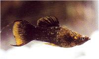 مولی خاک طلا زرد - نر (Golddust molly (yellow) male)