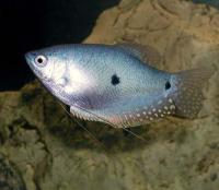 (Two Spot Gourami )