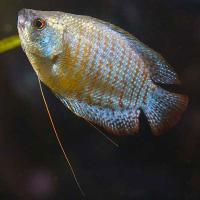 ماهیان گورامی و انواع انها