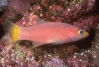 بَسلت مرجانی دُم زرد (Yellowtail Reef Basslet)