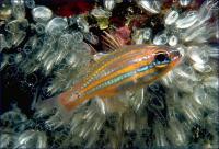 کاردینال نوار زرد (Yellow-striped Cardinalfish)