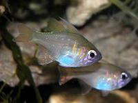 کاردینال رَگه ابی (Bluestreak Cardinalfish)