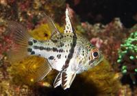 کاردینال کُرَوی (Orbiculate Cardinalfish)