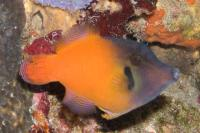 فایل ماهی سر سیاه (Black Headed Filefish)