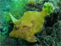 فایل ماهی نا همگون (Matted Filefish)