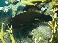 فایل ماهی جارویی (Broom Filefish)