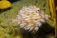 فایل ماهی برگی (Leafy Filefish)