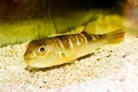 پافر خال طلایی (Gold spotted puffer)